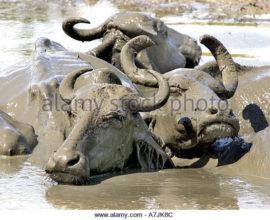 sri-lanka-water-buffalo-bubalus-bubalus-in-a-wallow-a7jk8c